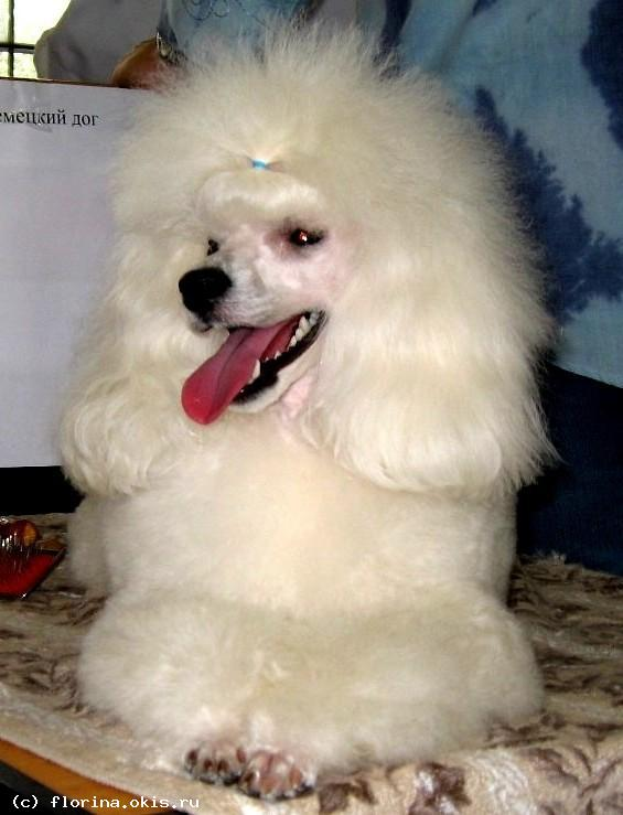 вам сонник щенок белый пудель Август